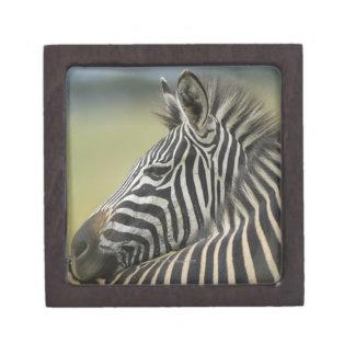 Plains Zebra (Equus quagga) pair, Haga Game Jewelry Box
