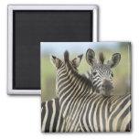 Plains Zebra (Equus quagga) pair, Haga Game 2 Inch Square Magnet