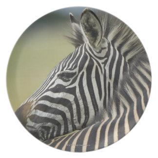 Plains Zebra (Equus quagga) pair, Haga Game Party Plates
