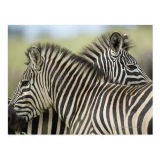 Plains Zebra (Equus quagga) pair, Haga Game Postcard