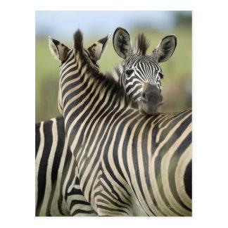 Plains Zebra (Equus quagga) pair, Haga Game Post Cards