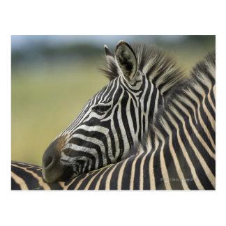 Plains Zebra (Equus quagga) pair, Haga Game Post Card
