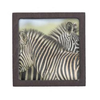 Plains Zebra (Equus quagga) pair, Haga Game Premium Gift Box