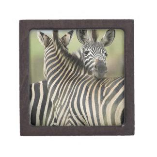 Plains Zebra (Equus quagga) pair, Haga Game Premium Keepsake Boxes