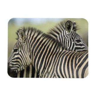Plains Zebra (Equus quagga) pair, Haga Game Flexible Magnets