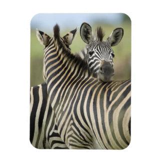 Plains Zebra (Equus quagga) pair, Haga Game Vinyl Magnet