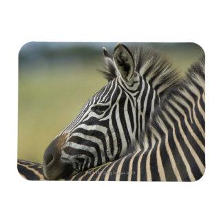 Plains Zebra (Equus quagga) pair, Haga Game Rectangle Magnets