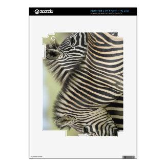 Plains Zebra (Equus quagga) pair, Haga Game Decals For iPad 3