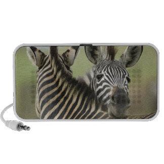 Plains Zebra (Equus quagga) pair, Haga Game Travelling Speaker