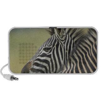 Plains Zebra (Equus quagga) pair, Haga Game Speaker System