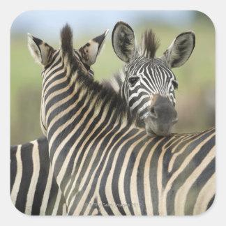 Plains Zebra (Equus quagga) pair, Haga Game Stickers