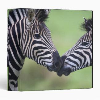 Plains zebra (Equus quagga) pair interacting 3 Ring Binder