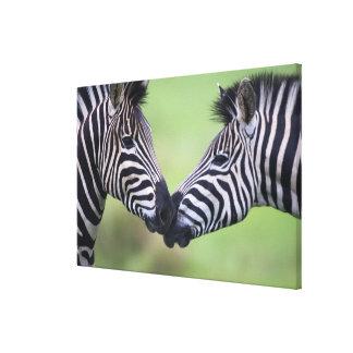 Plains zebra (Equus quagga) pair interacting Canvas Print