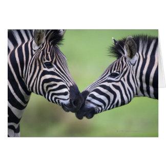 Plains zebra (Equus quagga) pair interacting Card