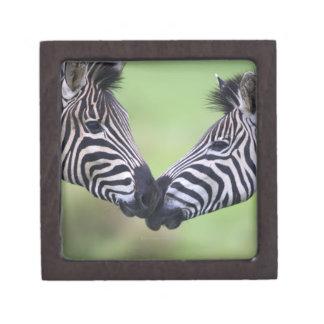 Plains zebra (Equus quagga) pair interacting Gift Box