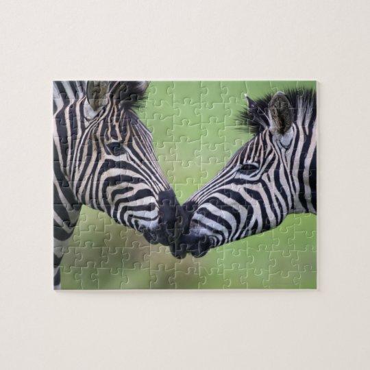 Plains zebra (Equus quagga) pair interacting Jigsaw Puzzle