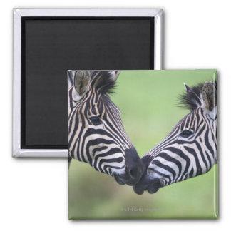 Plains zebra (Equus quagga) pair interacting Fridge Magnet
