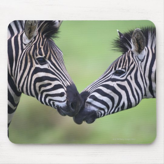 Plains zebra (Equus quagga) pair interacting Mouse Pad