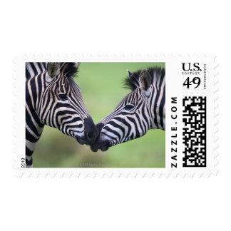 Plains zebra (Equus quagga) pair interacting Postage