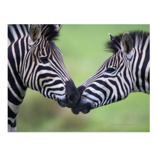 Plains zebra (Equus quagga) pair interacting Postcard