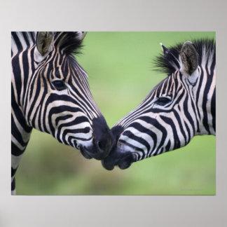 Plains zebra (Equus quagga) pair interacting Poster