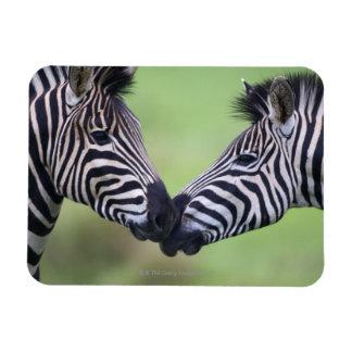 Plains zebra (Equus quagga) pair interacting Rectangular Photo Magnet