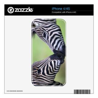 Plains zebra (Equus quagga) pair interacting iPhone 4S Skin