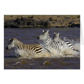 Plains Zebra (Equus quagga) running in water, Cards