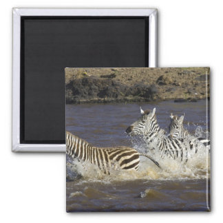 Plains Zebra (Equus quagga) running in water, Magnet