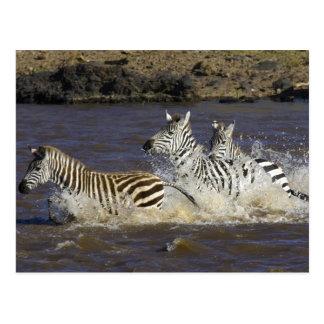Plains Zebra (Equus quagga) running in water, Postcard