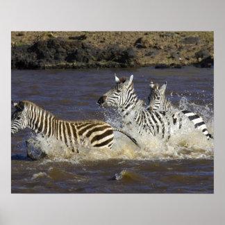 Plains Zebra (Equus quagga) running in water, Poster