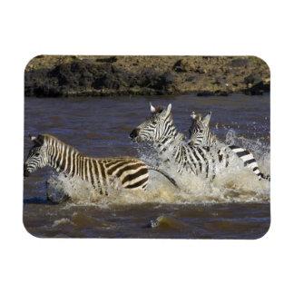 Plains Zebra (Equus quagga) running in water, Vinyl Magnet