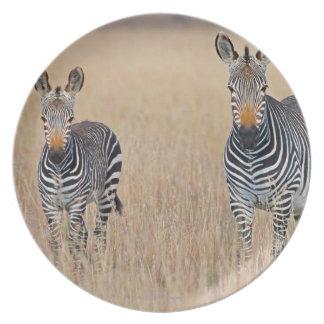 Plains zebra (Equus quagga) with foal in Plates