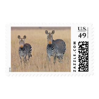 Plains zebra (Equus quagga) with foal Stamps