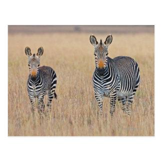 Plains zebra (Equus quagga) with foal Post Card