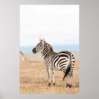 Plains Zebra Or Common Zebra (Equus Quagga) 3 Poster
