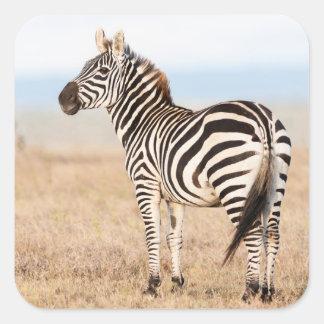 Plains Zebra Or Common Zebra (Equus Quagga) 3 Square Sticker