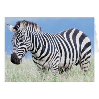Plains Zebra Or Common Zebra (Equus Quagga) Card