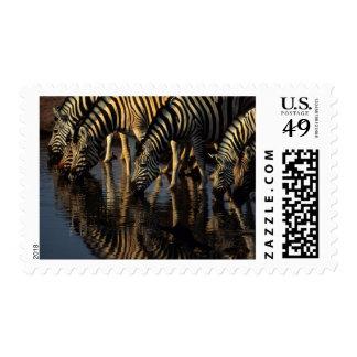 Plains Zebras (Equus Quagga) Herd Drinking Postage Stamp