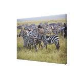 Plains Zebras on migration, Equus quagga, 2 Canvas Print