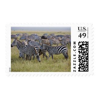 Plains Zebras on migration, Equus quagga, 2 Postage