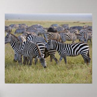 Plains Zebras on migration, Equus quagga, 2 Poster