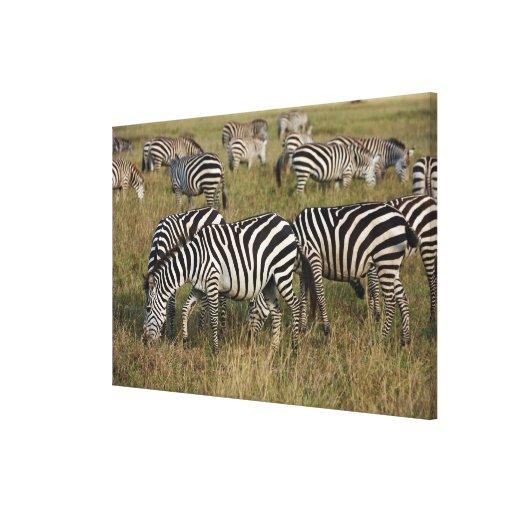 Plains Zebras on migration, Equus quagga, 3 Canvas Print