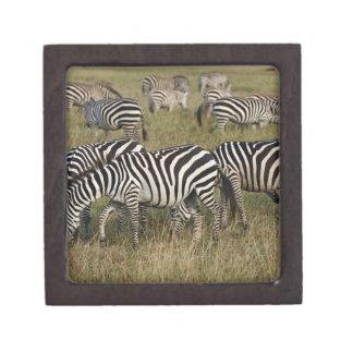 Plains Zebras on migration, Equus quagga, 3 Jewelry Box