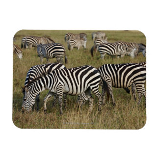 Plains Zebras on migration, Equus quagga, 3 Magnet