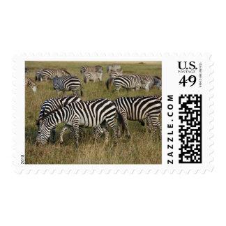 Plains Zebras on migration, Equus quagga, 3 Postage