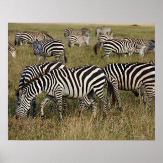 Plains Zebras on migration, Equus quagga, 3 Poster