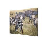 Plains Zebras on migration, Equus quagga, Gallery Wrapped Canvas