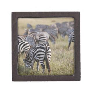 Plains Zebras on migration, Equus quagga, Keepsake Box
