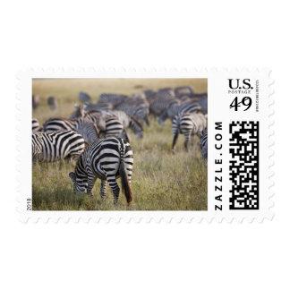 Plains Zebras on migration, Equus quagga, Postage